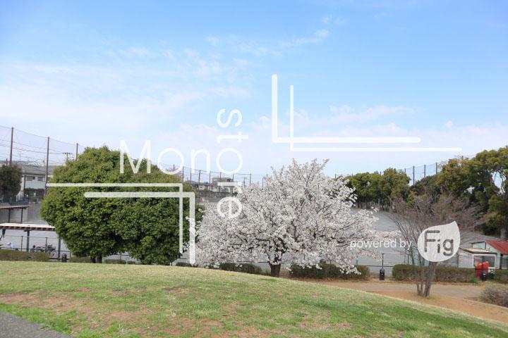 桜の写真 Cherry blossoms Photography 5237