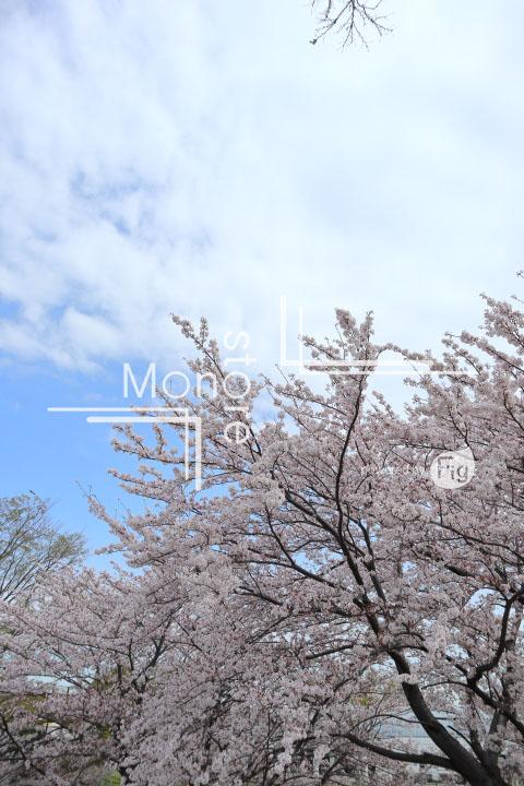 桜の写真 Cherry blossoms Photography 5239