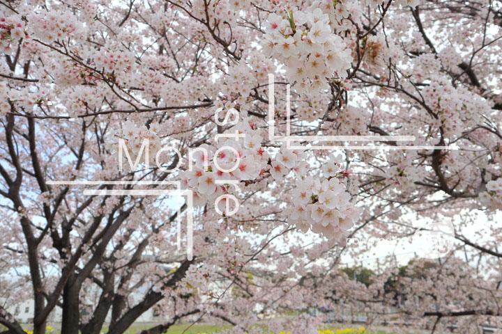 桜の写真 Cherry blossoms Photography 5242