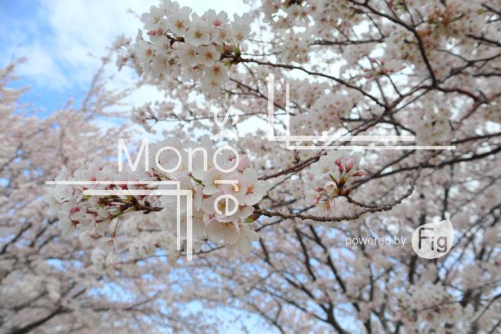 桜の写真 Cherry blossoms Photography 5243