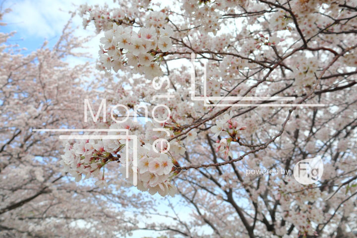 桜の写真 Cherry blossoms Photography 5245