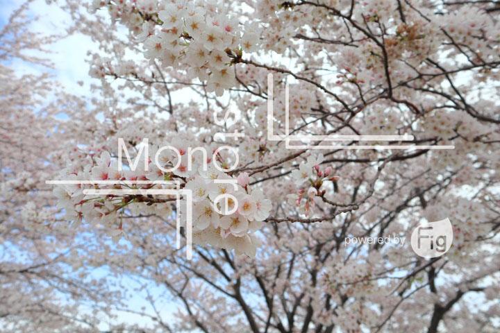 桜の写真 Cherry blossoms Photography 5246