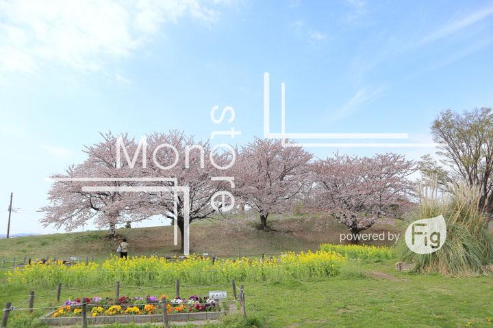 桜の写真 Cherry blossoms Photography 5256