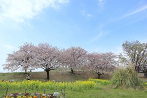 桜の写真 Cherry blossoms Photography 5259