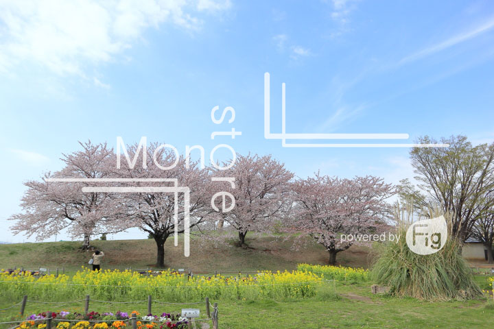 桜の写真 Cherry blossoms Photography 5259