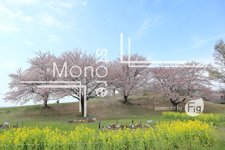 桜の写真 Cherry blossoms Photography 5266