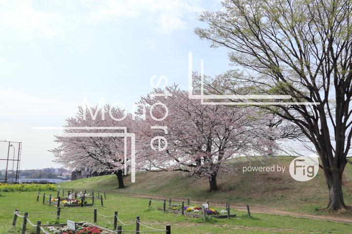 桜の写真 Cherry blossoms Photography 5274
