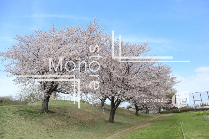 桜の写真 Cherry blossoms Photography 5275