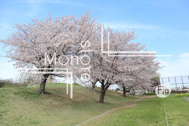 桜の写真 Cherry blossoms Photography 5276