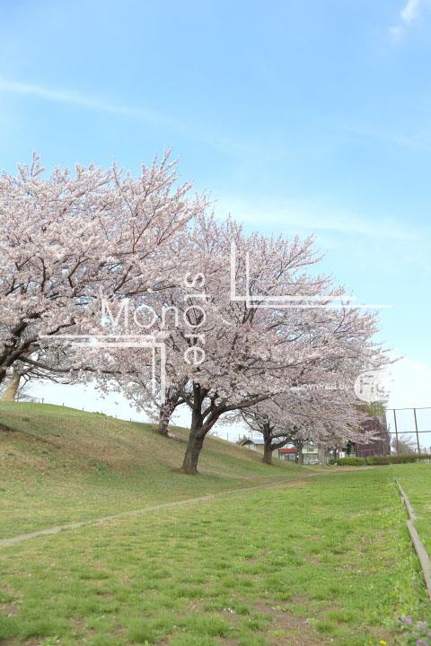 桜の写真 Cherry blossoms Photography 5281