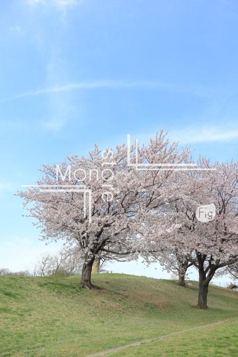 桜の写真 Cherry blossoms Photography 5283
