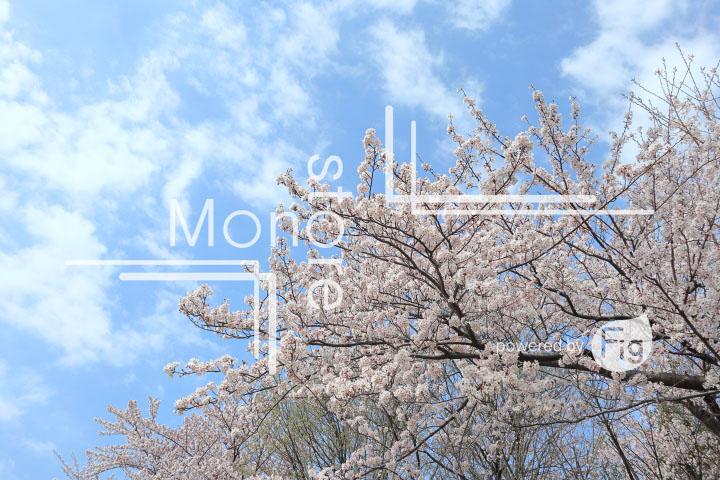 桜の写真 Cherry blossoms Photography 5289