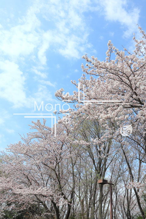桜の写真 Cherry blossoms Photography 5290
