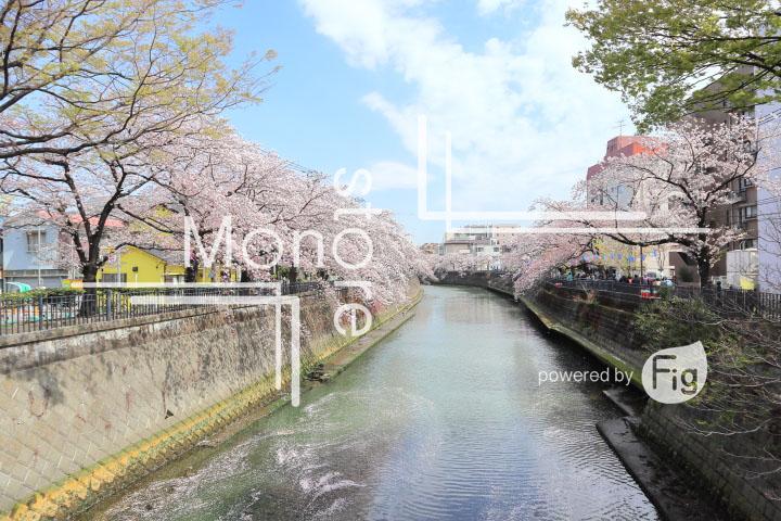 桜の写真 Cherry blossoms Photography 5295