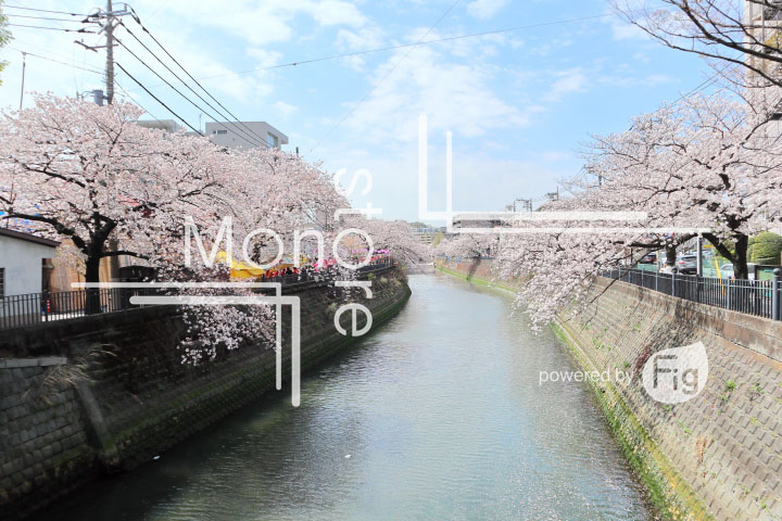 桜の写真 Cherry blossoms Photography 5298