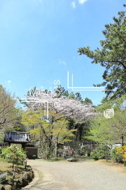 桜の写真 Cherry blossoms Photography 5313