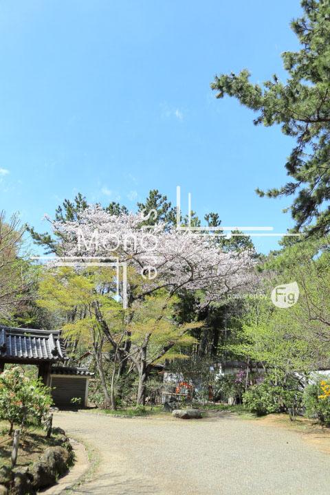 桜の写真 Cherry blossoms Photography 5315