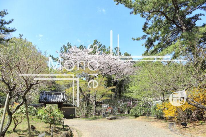 桜の写真 Cherry blossoms Photography 5316