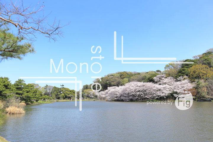 桜の写真 Cherry blossoms Photography 5324