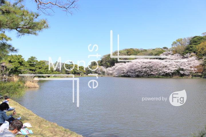 桜の写真 Cherry blossoms Photography 5327