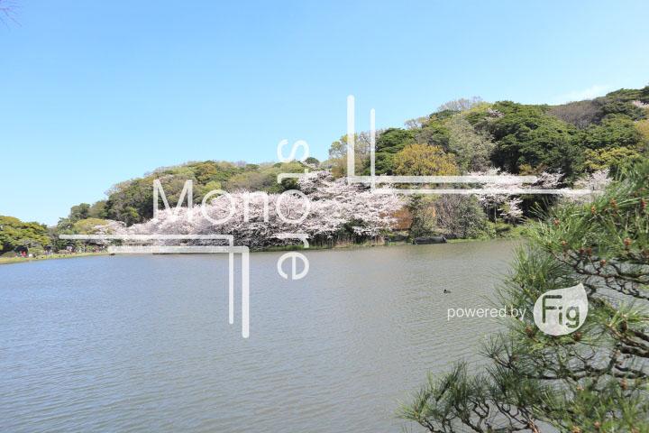 桜の写真 Cherry blossoms Photography 5328