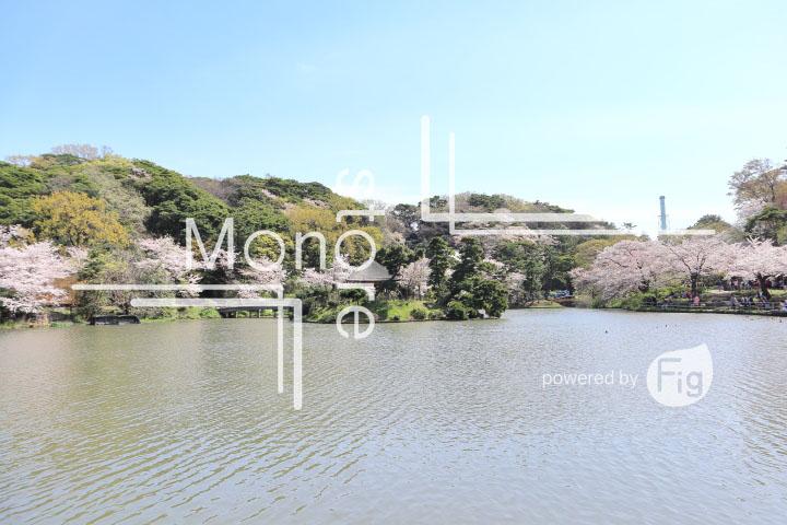 桜の写真 Cherry blossoms Photography 5338