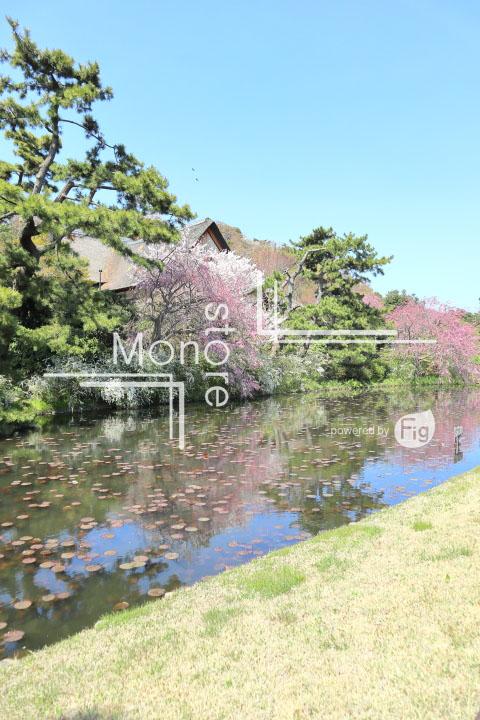 桜の写真 Cherry blossoms Photography 5343