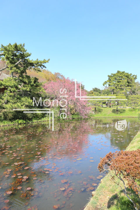 桜の写真 Cherry blossoms Photography 5345