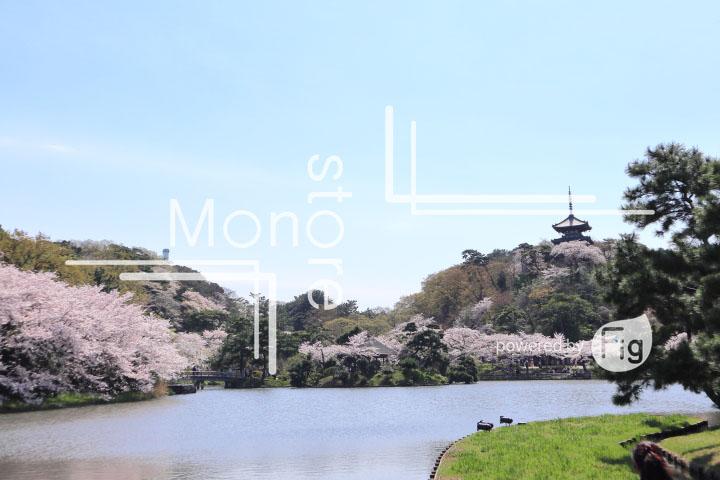 桜の写真 Cherry blossoms Photography 5354
