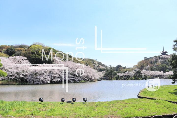 桜の写真 Cherry blossoms Photography 5361