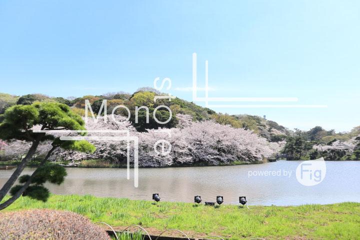 桜の写真 Cherry blossoms Photography 5363