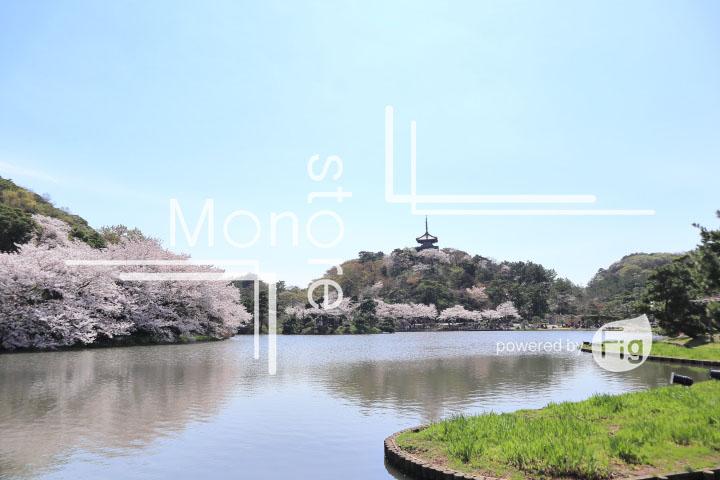 桜の写真 Cherry blossoms Photography 5364