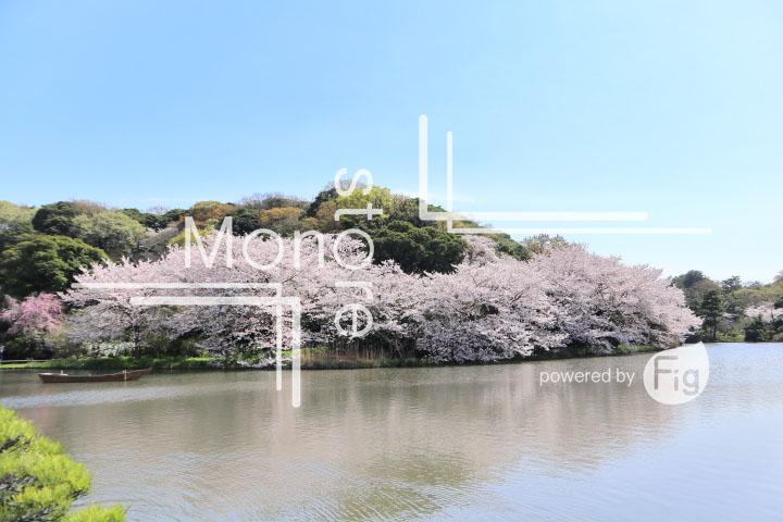 桜の写真 Cherry blossoms Photography 5365
