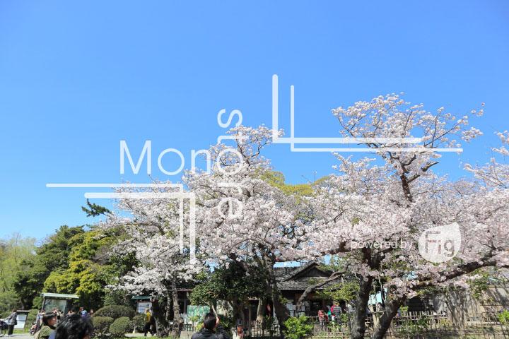 桜の写真 Cherry blossoms Photography 5374