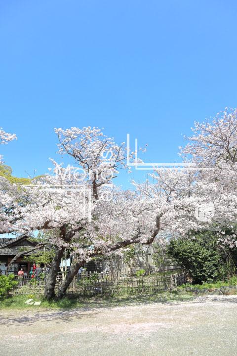 桜の写真 Cherry blossoms Photography 5375