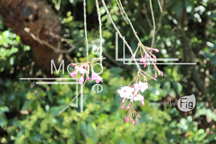 桜の写真 Cherry blossoms Photography 5379