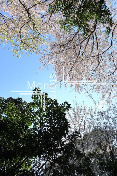 桜の写真 Cherry blossoms Photography 5383