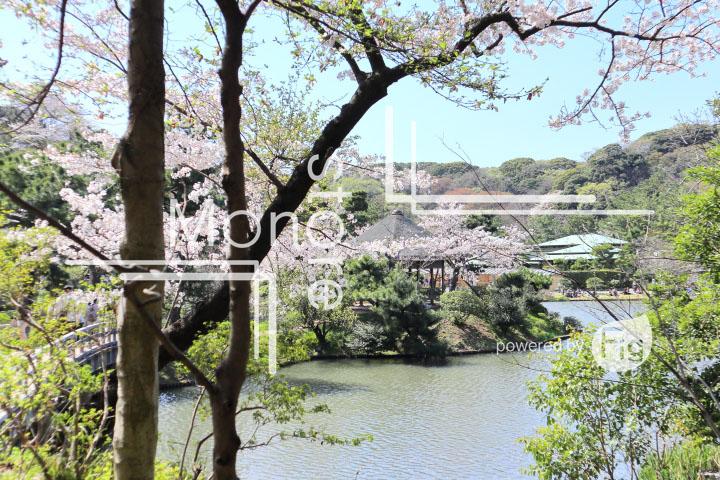 桜の写真 Cherry blossoms Photography 5386