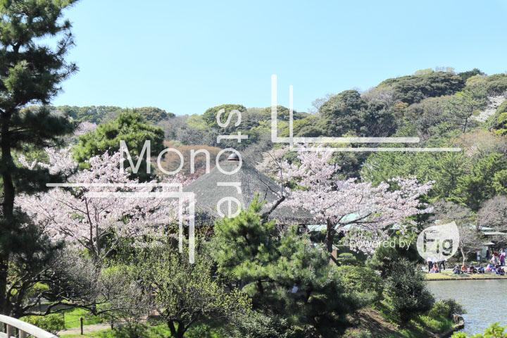 桜の写真 Cherry blossoms Photography 5403