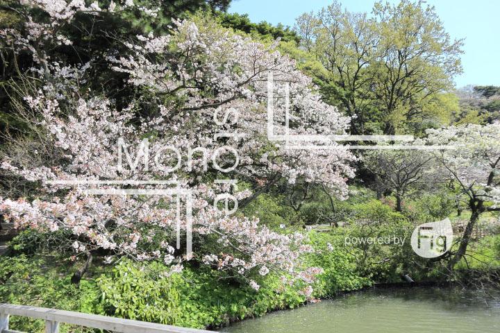 桜の写真 Cherry blossoms Photography 5409