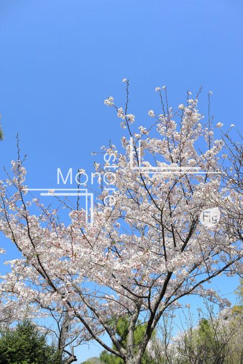 桜の写真 Cherry blossoms Photography 5413