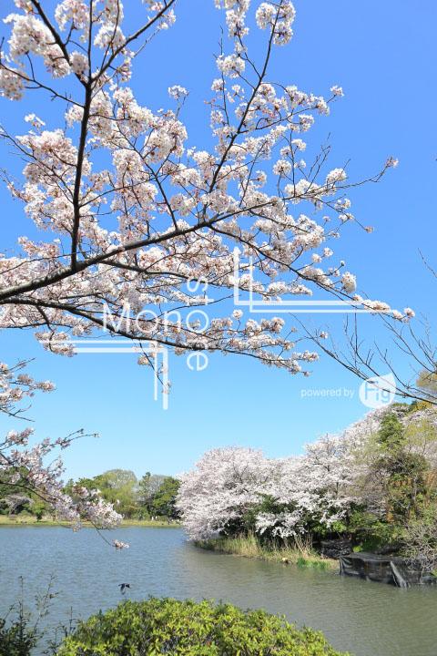 桜の写真 Cherry blossoms Photography 5416