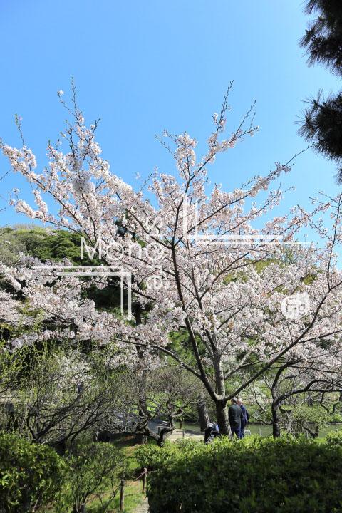 桜の写真 Cherry blossoms Photography 5421
