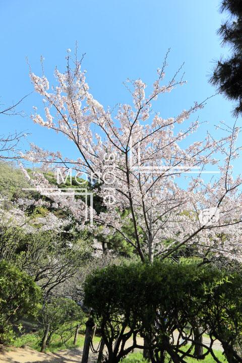 桜の写真 Cherry blossoms Photography 5423