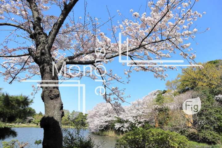 桜の写真 Cherry blossoms Photography 5424