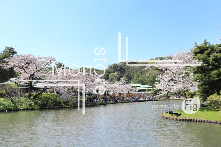 桜の写真 Cherry blossoms Photography 5426