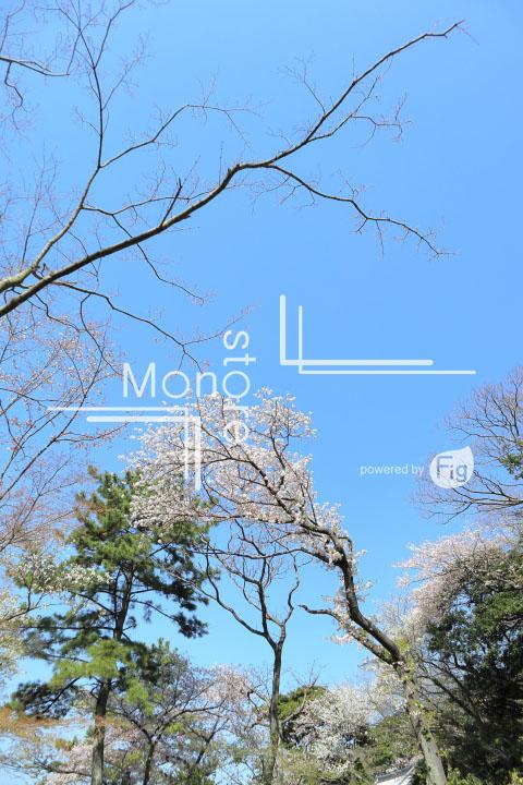 桜の写真 Cherry blossoms Photography 5434