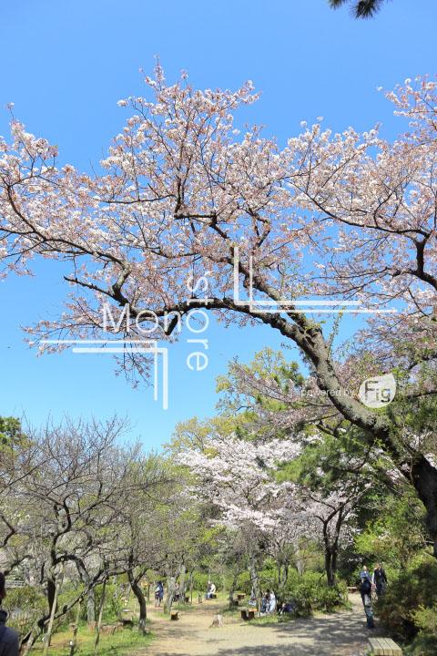桜の写真 Cherry blossoms Photography 5439