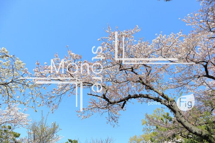 桜の写真 Cherry blossoms Photography 5443