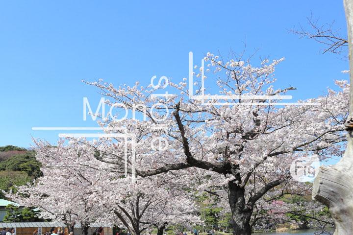 桜の写真 Cherry blossoms Photography 5466